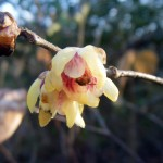 Wintersweet