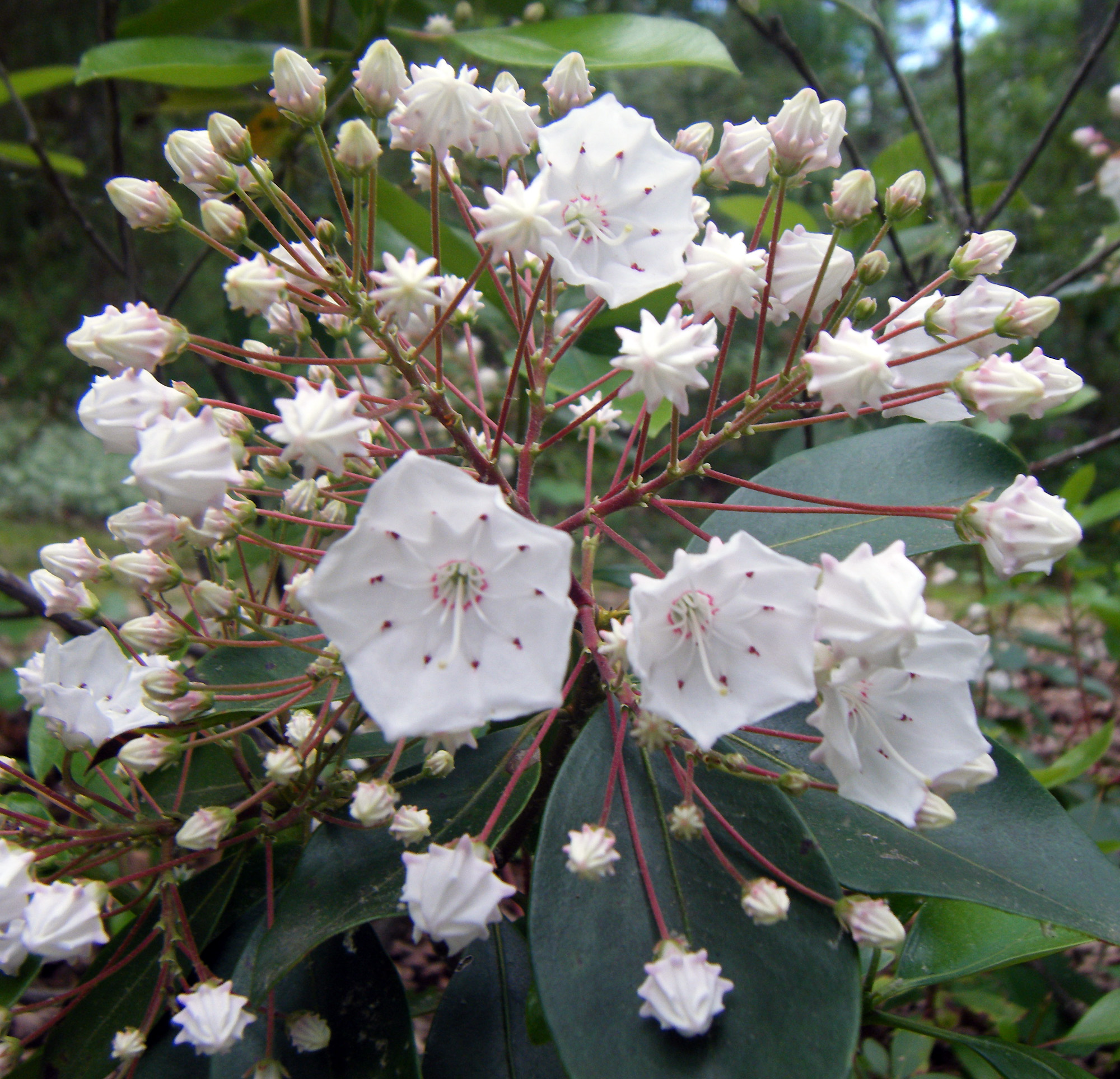Montain Laurel Is One Of Our Most Lovely Native Shrubs Especially When It  Flowers In Late Spring