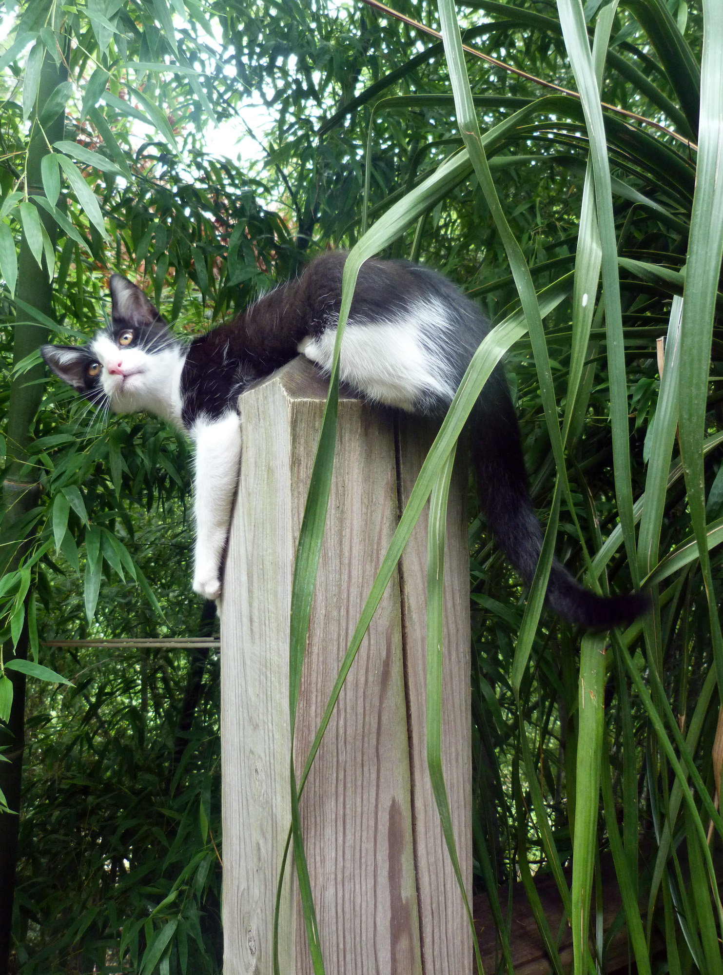 Ponytail palm for Ponytail palm cats