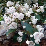 Mountain Laurel flowers are one of my favorites.