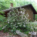 Mountain Laurel in full bloom at Briarwood Nature Preserve.
