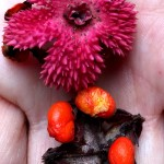Here are 2 fruits with a top view of the warty pink cover & an inside view of the scarlet pulpy fruit.